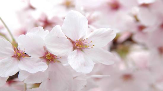 pink_flowers_lady_fur