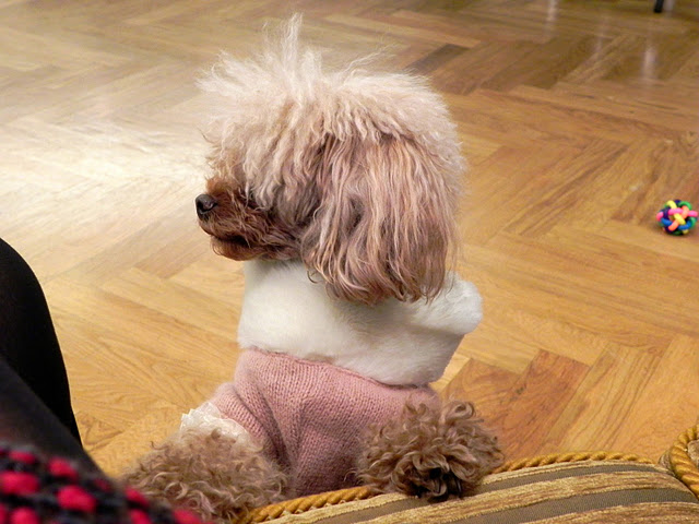 Little dog with stylish dress