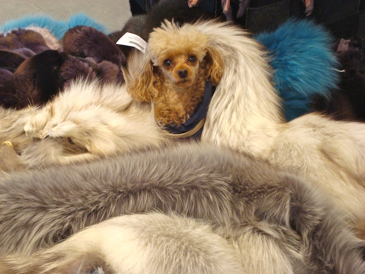 dog Emilie in fur clothes